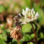 пчела на белом цветке клевера