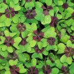 листья клевера