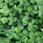трава клевер польза