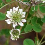 цветок и листья белого клевера
