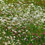 ромашковое поле и клевер