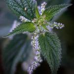 цвет крапивы