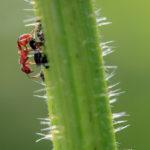 стебель крапивы, муравьиная кислота