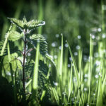 роса на траве, крапива