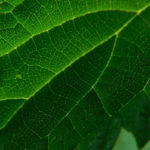 крапивный лист