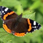 бабочка на крапиве