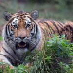 тигр в крапиве