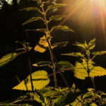 листья крапивы на солнце