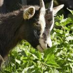 коза в крапиве