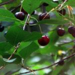 вишни листья и ягоды
