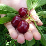ягоды и листья вишни в руке