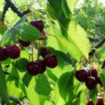 ягоды и листья вишни