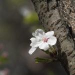вишневое дерево цветет