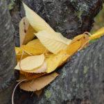 листья вишни на дереве