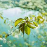 листочки вишни для чая
