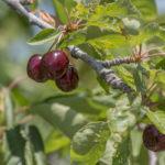 ветка с ягодами и листьями вишни