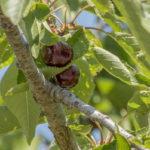 листья вишни, веточка