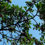 вишня дерево, листья, ягоды