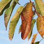 вишневые листы