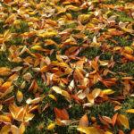 осенние вишневые листы