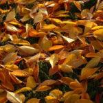 желтые листья вишни осенью