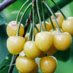 желтая вишня