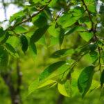 сбор листьев вишни для чая