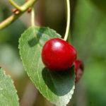 вишня, листочки