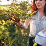 польза вишни для женщин, сборр вишен