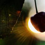 вишни лист, спелая вишня