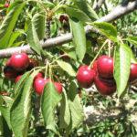 ветка вишни с листьями и спелыми ягодами