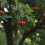 вишневый сад