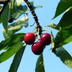 вишни листья