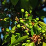зеленые вишни