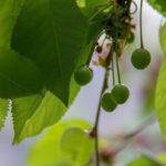 зеленая вишня, листья