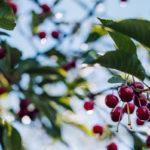 спелая вишня, черешки