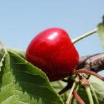 вишня, ягоды, листья, веточки