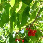 свежие листья вишни