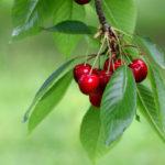 чай из листьев вишни, польза и вред