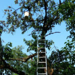 сбор вишен с дереве, лестница