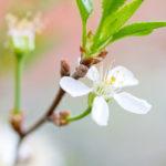цветок и побеги вишни