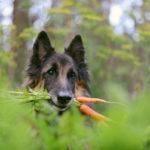 собака держит в зубах морковь с ботвой