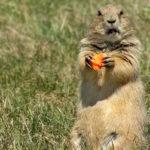 сурок ест морковь