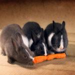 морковка для кроликов
