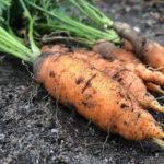 выкопанная морковка