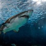 вредная рыба, акула
