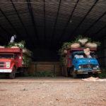 транспортирование мешков с ветками чая падуба парагвайского