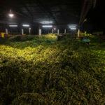 сырье для чая мате, листья парагвайского падуба