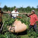 промышленный сбор листьев падуба парагвайского, взвешивание