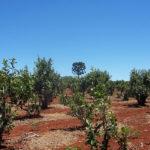 плантация падуба парагвайского, чай мате